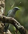 Javan Cuckoo-Shrike - Malaysia MG 6991 (16408000903) (cropped).jpg