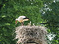 Jielbeaumadier cigognes blanches nid 1 strasbourg 2009.jpeg