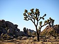 Joshua Tree (11574958523).jpg