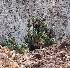 A group of palm trees at the base of a cliff in a rocky landscape with only few small plants around.