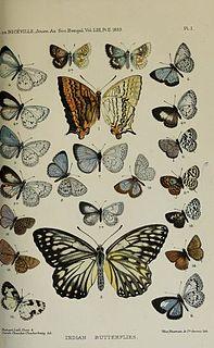 <i>Bothrinia</i> Butterfly genus in family Lycaenidae
