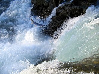 Fish migration - Many species of salmon are anadromous and can migrate long distances up rivers to spawn