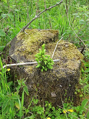 Tree stump - young spruce (picea) on stump - saprobiontic