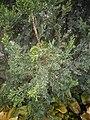 Juniperus chinensis at Akola, India6.jpg