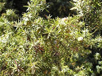 Juniperus macrocarpa - Foliage and immature cones, Paros Island, Greece