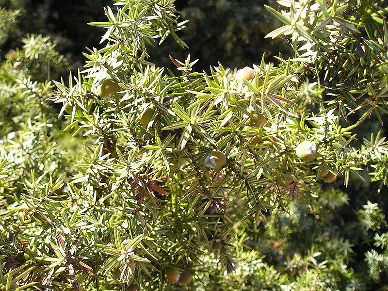 File:Juniperus macrocarpa Paros1.jpg