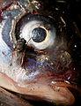 Kärpänen kalan silmässä.jpg
