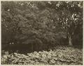 KITLV 26576 - Isidore van Kinsbergen - The Botanical Gardens at Buitenzorg - Around 1870.tif