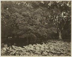 KITLV 26576 - Isidore van Kinsbergen - The Botanical Gardens at Buitenzorg - Around 1870.tif