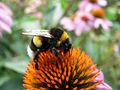 Kaibara87 - Bumblebee (by).jpg