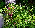 Kalmia angustifolia (14583191498).jpg