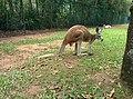 Kangaroo at Australia Zoo.jpg