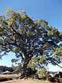 Kawako camphor tree.jpg