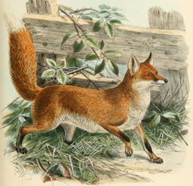 Keulemans common fox.png