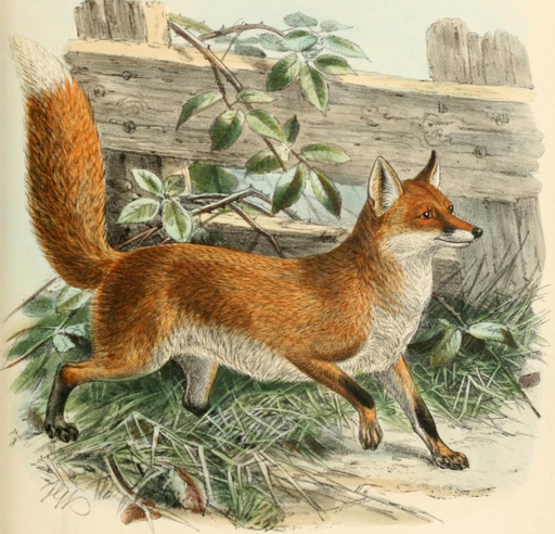 Keulemans common fox