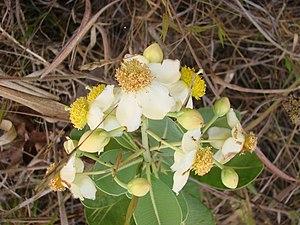 Kielmeyera coriacea - Image: Kielmeyera coriacea