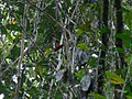 King Bird-of-Paradise (2913742661).jpg