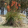 Kniphofia uvaria close.JPG