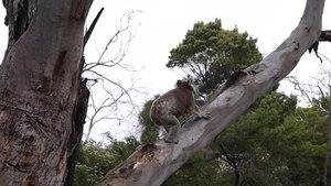 File:Koala in motion.webm