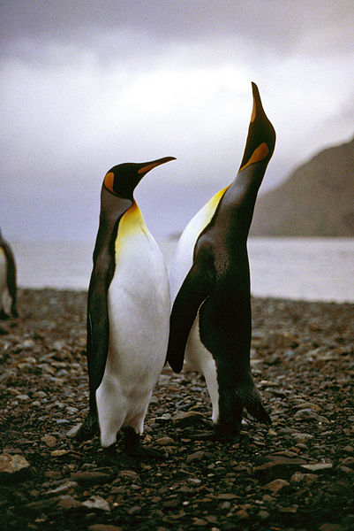 Pinguinul regal