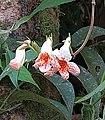 Kohleria sp. - Flickr - Dick Culbert.jpg
