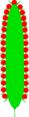 Kolben (inflorescence).PNG