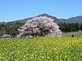 Kurobe-edohigansakura.jpg