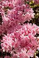 Kurume Azalea - National Rhododendron Gardens, Olinda, Victoria Australia (6225508705).jpg