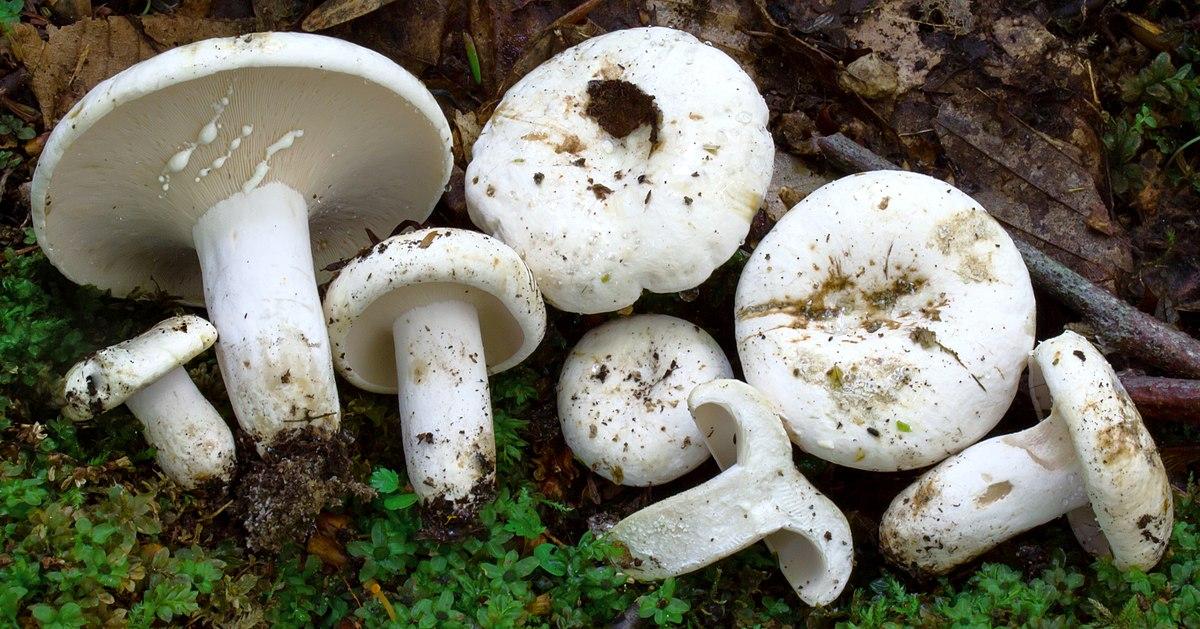 Gomba parazita, A gombák és csoportjaik
