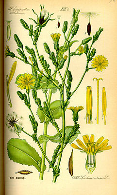 Gift-Lattich (Lactuca virosa), Illustration