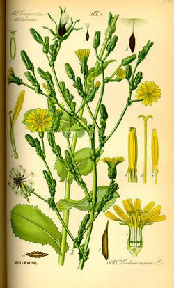 Lactuca - Wikipedia, the free encyclopedia