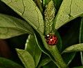 Ladybug eating aphids. (49485764276).jpg