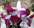 Laeliocattleya Taiwan Beauty 'Qing Ming -1' -香港沙田國蘭展 Shatin Orchid Show, Hong Kong- (24870758550).jpg