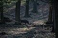 Lainzer Tiergarten März 2014 Bärenberg Wildschwein (Sus scrofa) 2.jpg