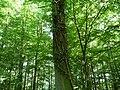 Landschaftsschutzgebiet Waldgebiet bei Neuenkirchen Melle - Im Wald- Datei 8.jpg