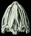 Lanterne d'Aristote (Haeckel).png