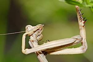 Large Brown Mantis cleaning itself