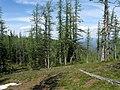 Larix lyallii MountFrosty3.jpg