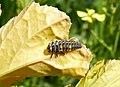Larva di Coccinella septempunctata.jpg
