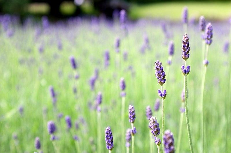 File:Lavender Field (7433821140).jpg