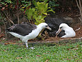 Laysan Albatross RWD8b.jpg