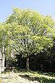 Le micocoulier et ses feuilles de printemps.JPG