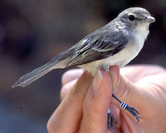 Bell's vireo - Least Bell's vireo with leg band, grasped in human hand.