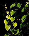 Leaves (2393061820).jpg