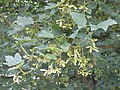 Leaves and fruit of Sycamore tree - geograph.org.uk - 193995.jpg