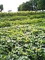 Leaves of plants, species unidentified, in Uttar Pardesh, India, 2014.jpg