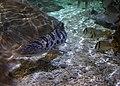 Leopard Shark (5730517136).jpg