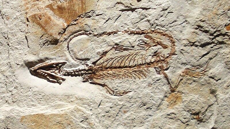 http://upload.wikimedia.org/wikipedia/commons/thumb/c/c1/Leptosaurus_pulchellus.JPG/800px-Leptosaurus_pulchellus.JPG