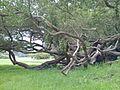 Leptospermum laevigatum (7081144943).jpg