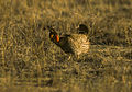 Lesser Prairie-Chicken - Colorado - USA 99 0002 (15357071579).jpg